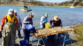 Sorting Oysters at Aery's Pond