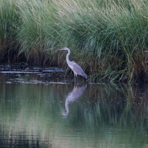 Great Blue Heron - Sherri VandenAkker