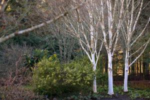 RHS native trees